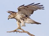 Northern Harrier Landung