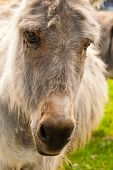 picture of headstrong  - Portrait of donkey in a Field in sunny day