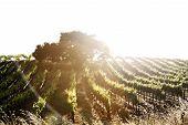 Vineyard In Edna Valley