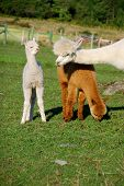 stock photo of alpaca  - Alpaca is a domesticated species of South American camelid - JPG