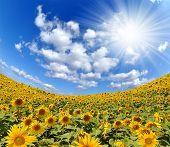 sunny sky over the sunflower field - fisheye shot