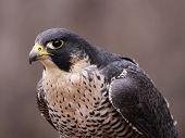 Focused Peregrine Falcon