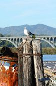 picture of rogue  - Western Gull Larus occidentalis on a pier in Gold Beach Oregon - JPG