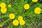 Dente de leão, Taraxacum officinale