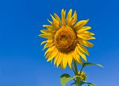 nice sunflower on blue sky background