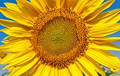 Nice yellow sunflower