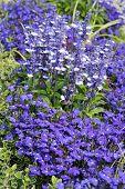 Lobelia Erinus And Salvia Farinacea
