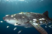 School Of Small Fish Around Whale Shark And Sun Rays