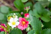 White And Pink Strawberry Blooms