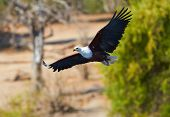 stock photo of fish-eagle  - Large Fish eagle in flight in Botswana - JPG