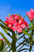 Nerium oleander flowers against blue sky