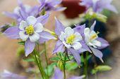 Spring Columbine