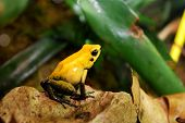 pic of orange poison frog  - yellow frog sitting in terrarium  - JPG
