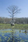 Cypress Tree And Lilypads
