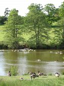 Geese Within Landscape