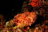 Mediterranean Scorpionfish underwater in Majorca, Spain
