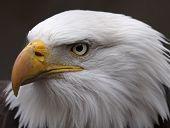 Stern Bald Eagle