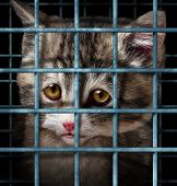 image of spayed  - Pet adoption concept for orphaned and unwanted animals as cats or dogs caged in a shelter for pets represented by a sad cute kitten behind metal prison bars - JPG