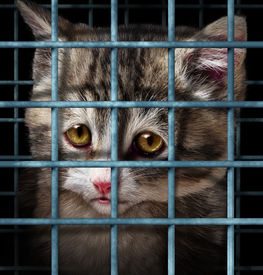 stock photo of spayed  - Pet adoption concept for orphaned and unwanted animals as cats or dogs caged in a shelter for pets represented by a sad cute kitten behind metal prison bars - JPG