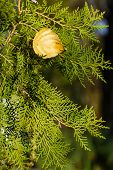 Fir And Autumn Leaves