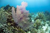 Venus Fan (gorgonia Flabellum), Caribbean