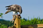 Red-tailed Hawk Eating Captured Rabbit