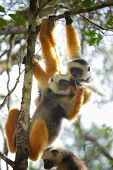 Diademed sifaka hanging on a tree's branch in a forest. Andasibe - Mantadia national park, Madagascar