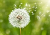 stock photo of dandelion seed  - dandelion with flying seeds - JPG