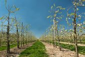 Endless rows of young pear trees in full bloom in the famous Flemish fruit region in Belgium near St