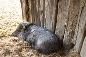 pic of javelina  - A collared peccary or javelina - JPG