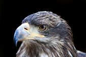 image of falcon  - A beautiful closeup of a falcon - JPG