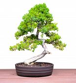 Bonsai Jacaranda Pine Tree on a Table Isolated on a White Background