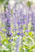 image of purple sage  - Sage plant  - JPG