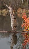 Raccoon (Procyon lotor) Starts Climb Up Tree - With Reflection