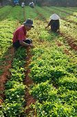 Vietnamese Farmer Weed On Vegetable Farm