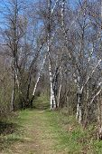 Early Spring and birch trees