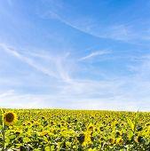 Field, Of Sunflowers In Summer Sunlight