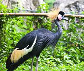 Black Crowned Crane Or Kaffir Crane Bird