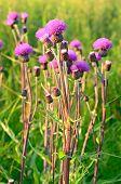 Cirsium Arvense flores