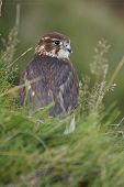 stock photo of merlin  - A captive Merlin in moorland looking over its shoulder - JPG