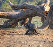 Clumsy baby elephant in South Luangwa National Park, Zambia, Africa
