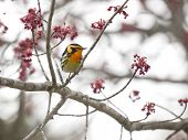 Blackburnian Warbler In A Maple Tree