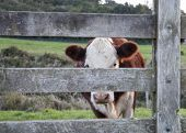 stock photo of hereford  - A Polled hereford cattle peer through farm gate thinking they are hiding but spying with sun setting on horizon - JPG