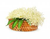 The Elder or Elderberry (Sambucus nigra).The flowers and berries are used most often medicinally aga