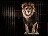 Lion in a circus cage