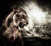 picture of lioness  - Roaring lioness against stormy sky - JPG