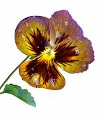 pansy viola flower nature macro