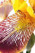 Iris, Petal Closeup