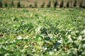 stock photo of muskmelon  - Water melon at field is growing up - JPG