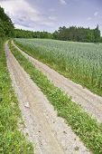 Path Corn Field